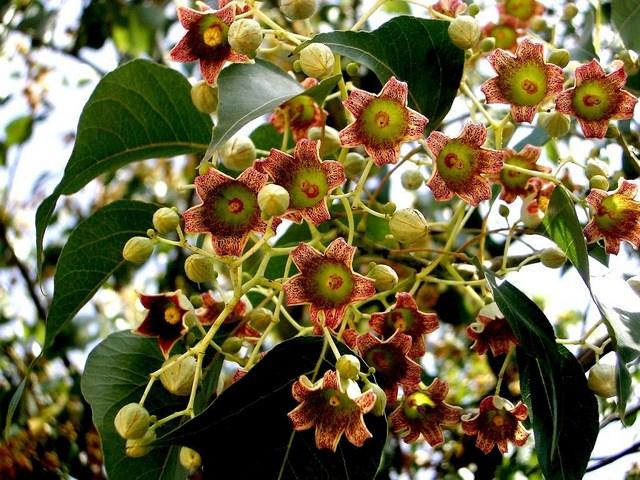 Rboles ornamentales vostres vivers for Viveros arboles ornamentales