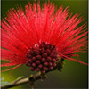 albizia-julibrisin-rojo-th