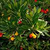 arbustos-unedo-th