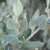 atriplex-halimus-th