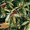 aucuba-japonica-th
