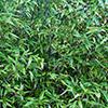 bambu-negro-th