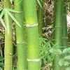 bambu-th