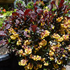 berberis-concorde-th