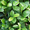 buxus-sempervirens-th