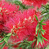 callistemon-citrinus-th