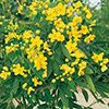 cassia-corymbosa-th