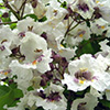 catalpa-bignonioides-th