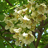 catalpa-bungei-th