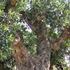 ceratonia-siliqua-th