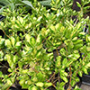 coprosma-rubiaceae-th