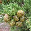 cupressus-sempervirens-th