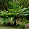 cyca-circinalis-th