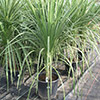 dracaena-cordyline-Indivisa-th