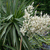 dracaena-cordyline-australis-th