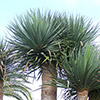 dracaena-drago-th