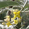 eleagnus-angustifolia-caspica-th