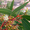 eucalyptus-th