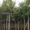 ficus-nitida-retusa-th