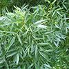 fraxinus-angustifolia-th
