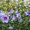 hibiscus-syriacus-th