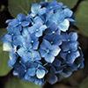 hydrangea-macrophylla-th