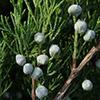 juniperus-th