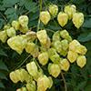 koelreuteria-paniculata-th-