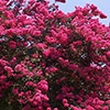 lagerstroemia-indica-th
