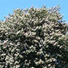 lagunaria-patersonii-th