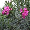 nerium-oleander-th