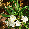 nerium-oleander-th
