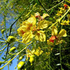 parkinsonia-aculeata-th