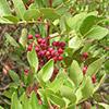 pistacesa-lentiscus-th