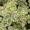 pittosporum-garnettii-th