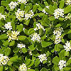 pittosporum-tobira-th
