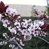 prunus-cesarifea-th