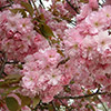 prunus-serrulata-kanzan-th