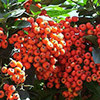 pyracantha-coccinea-th
