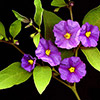 solanum-rantonetii-th