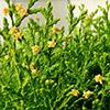 thuya-orientalis-aurea-nana-th