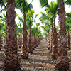washingtonia-robusta-th