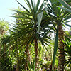 yucca-elephantipes-th