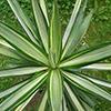 yucca-elephantipes-variegata-th