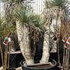 yucca-rostrata-th
